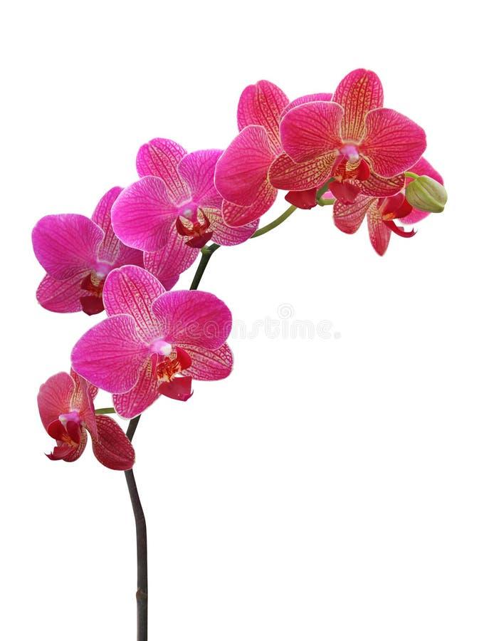 Orquídea en blanco imagenes de archivo