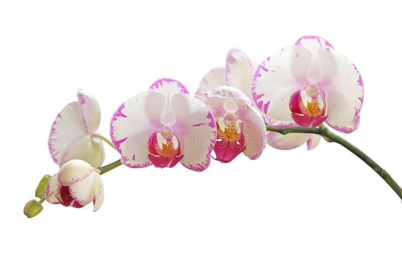 Orquídea en blanco fotos de archivo libres de regalías