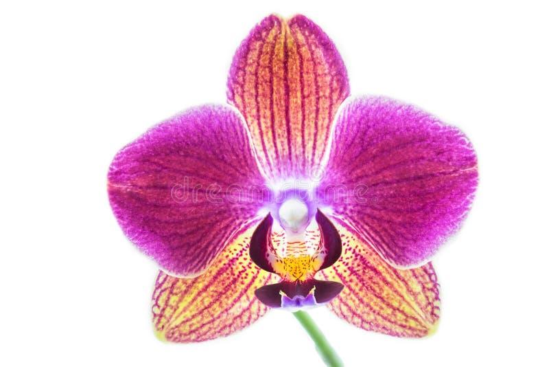 Orquídea en el fondo blanco fotografía de archivo