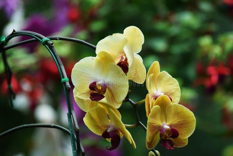 Orquídea en el jardín fotos de archivo libres de regalías