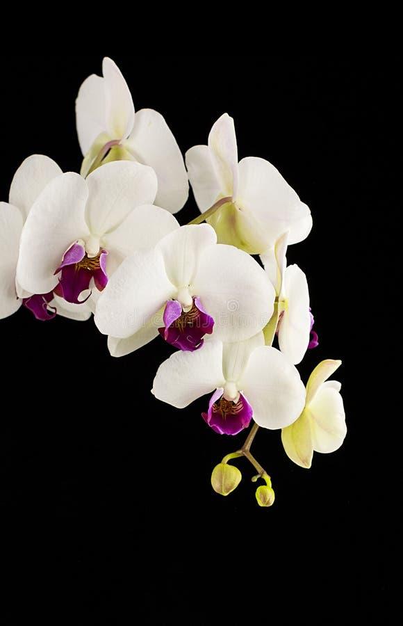 Orquídea en fondo negro imagen de archivo