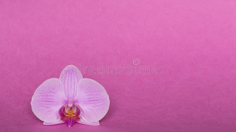 Orquídea en fondo rosado fotos de archivo libres de regalías