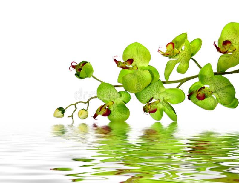 Orquídea hermosa fotografía de archivo