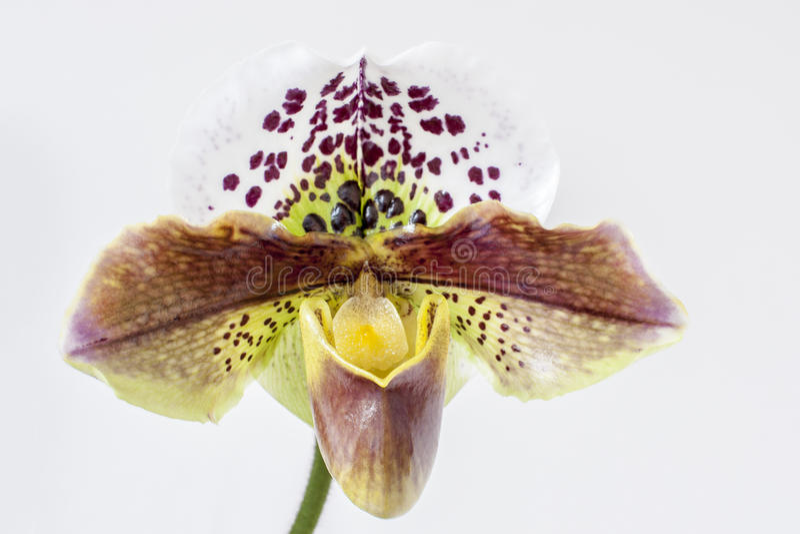 Orquídea hermosa imágenes de archivo libres de regalías