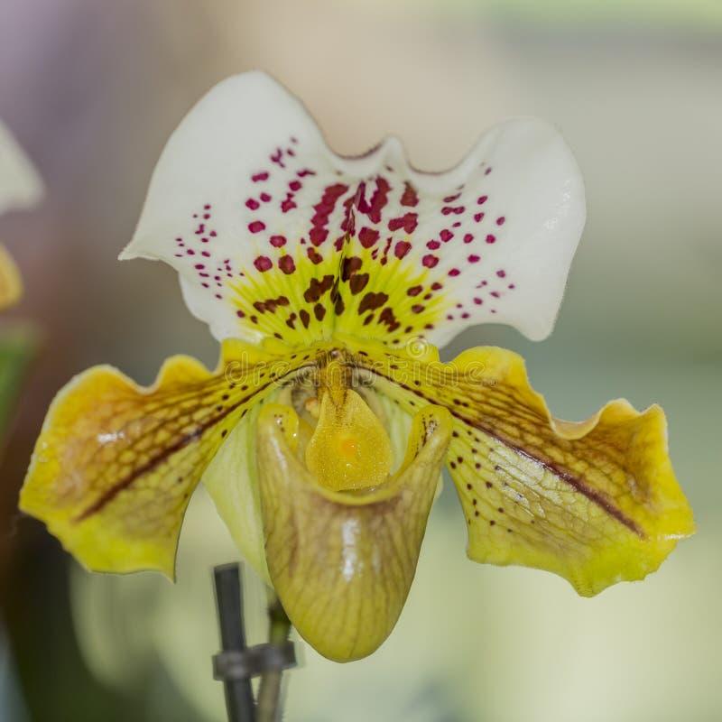 Orquídea hermosa con los pétalos blancos y amarillos con los pequeños puntos rojos fotos de archivo
