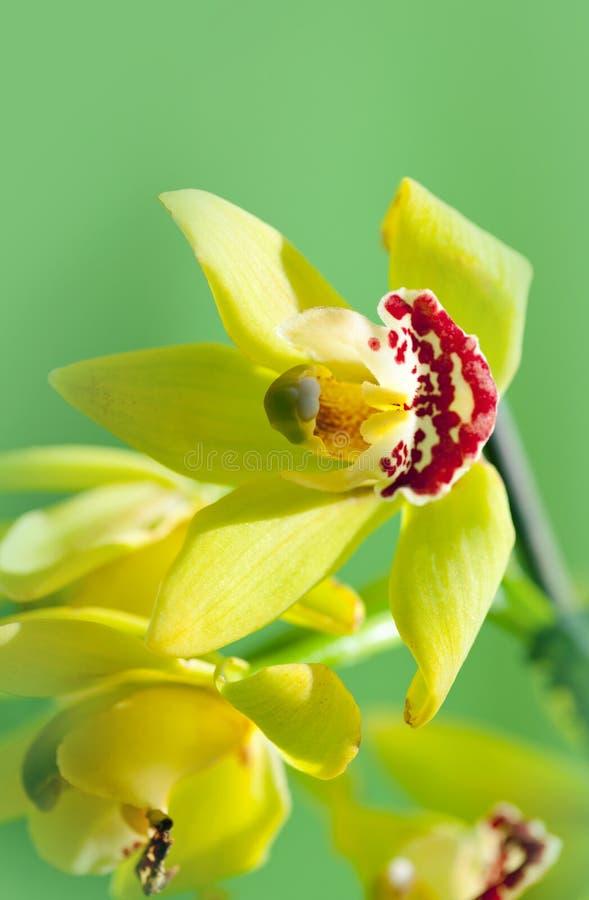 Orquídea hermosa de la flor fotografía de archivo libre de regalías