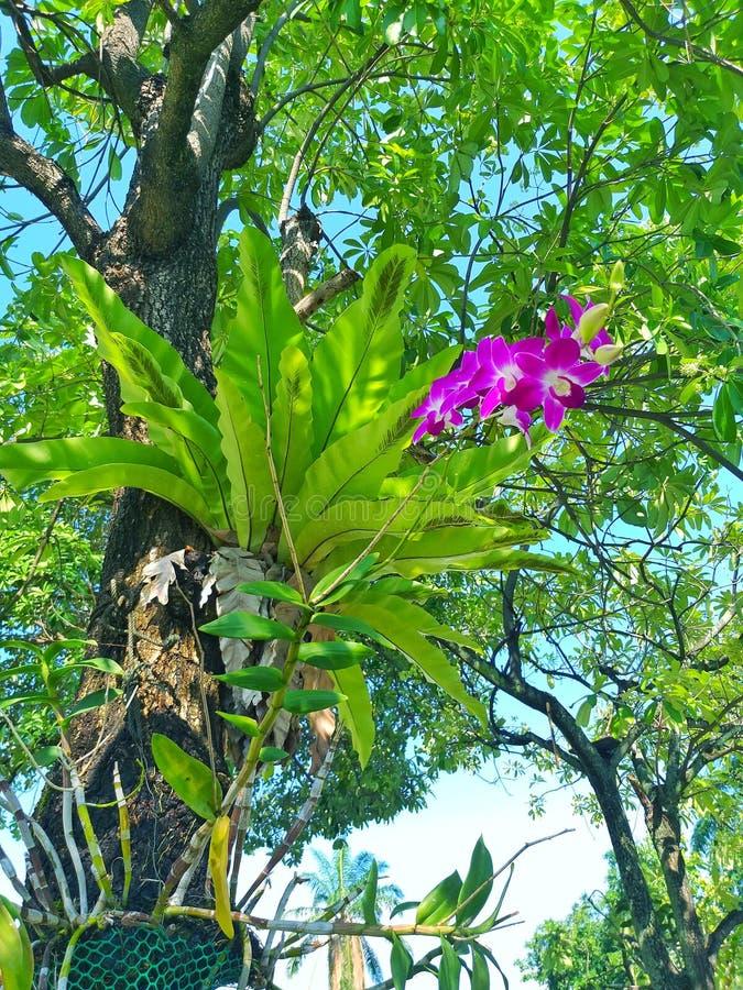 Orquídea hermosa que crece viviendo en un árbol grande foto de archivo libre de regalías
