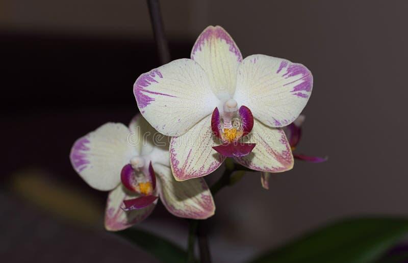 Orquídea ligera del pote del sitio con el ribete rosado imagen de archivo libre de regalías