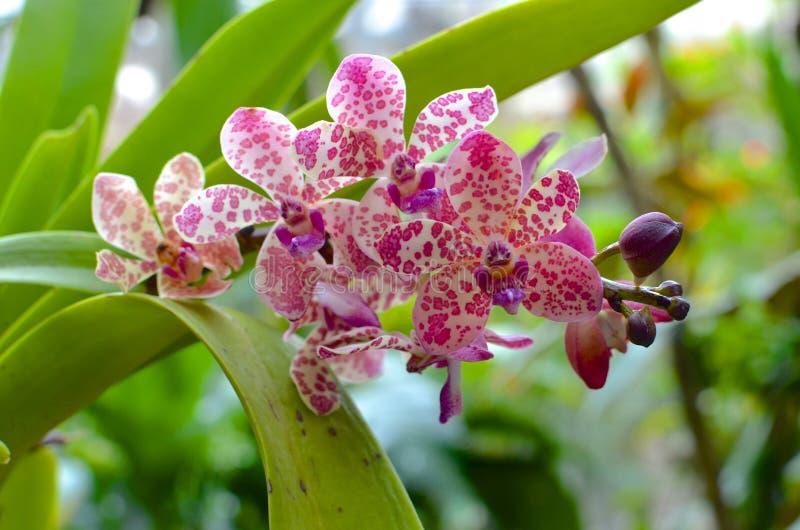 Orquídea manchada fotos de archivo libres de regalías