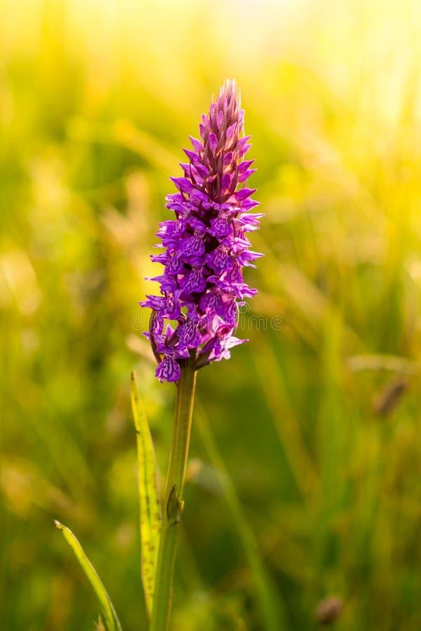 Orquídea manchada campo común en la floración en la puesta del sol imagen de archivo libre de regalías