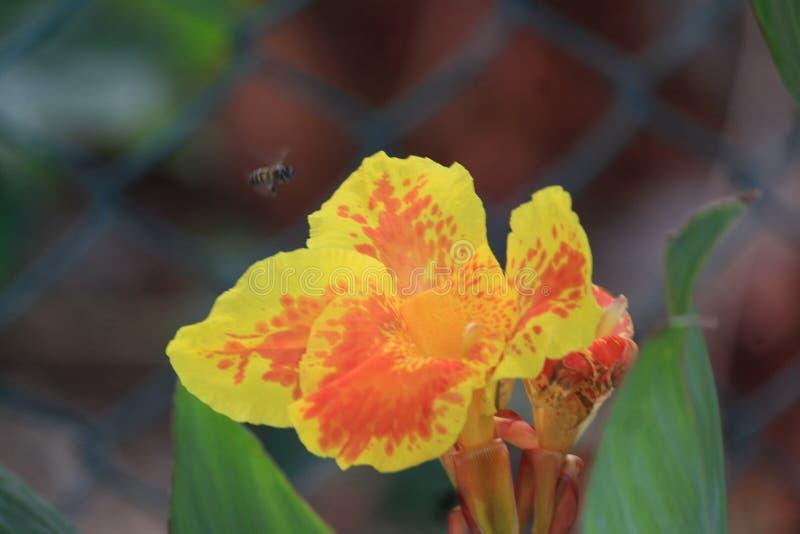 Orquídea maravilhosa e uma abelha de voo imagens de stock royalty free