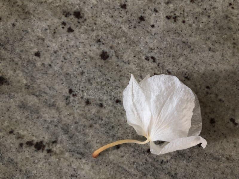Orquídea murcho bud-06 imagens de stock