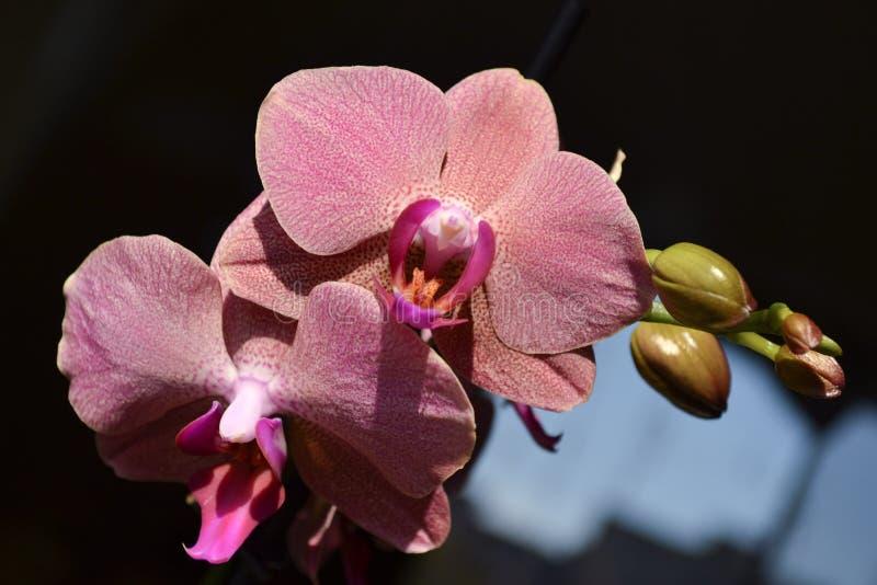 Orquídea na flor foto de stock royalty free