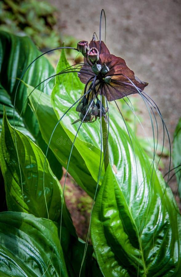 Orquídea negra - viuda negra imágenes de archivo libres de regalías