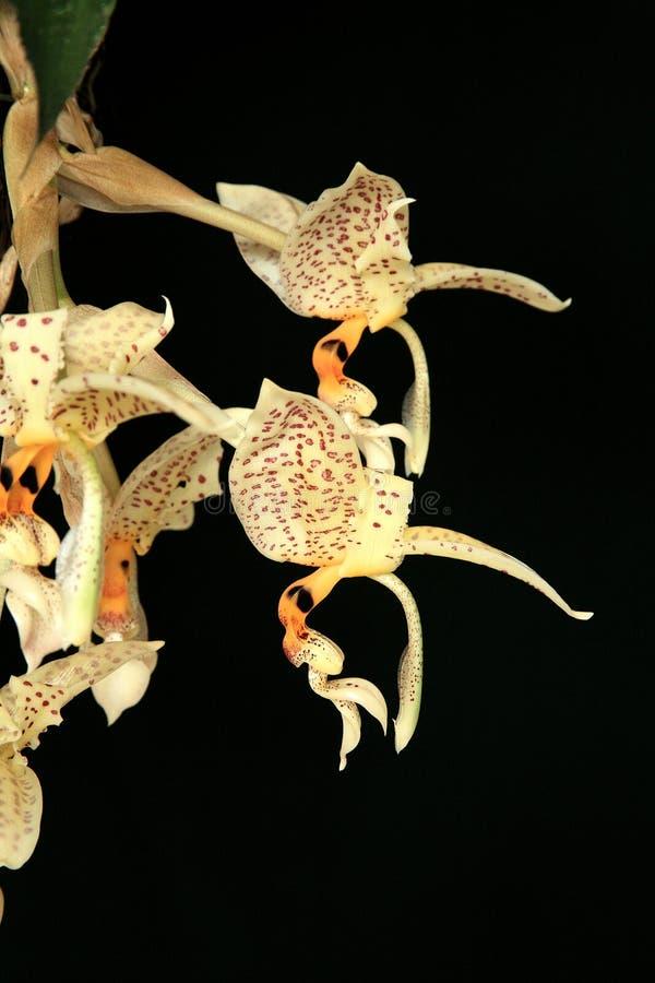 Orquídea: Oculata de Stanhopea imagem de stock royalty free