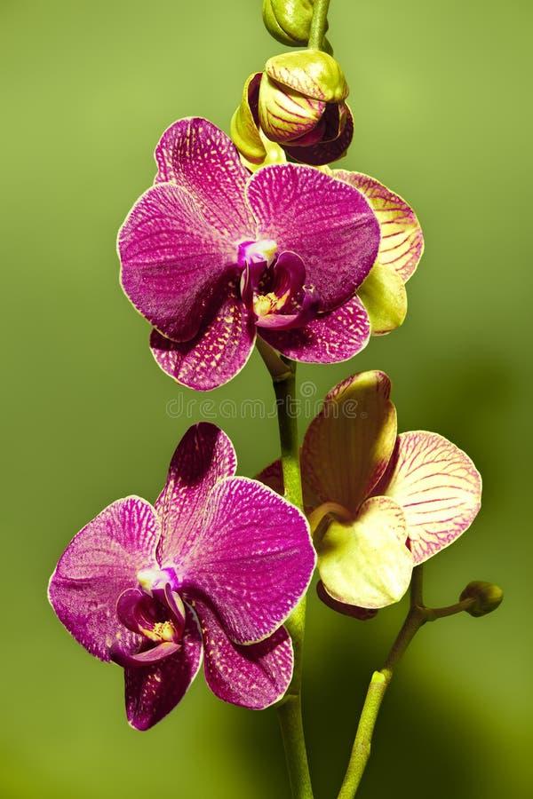 Orquídea púrpura imágenes de archivo libres de regalías