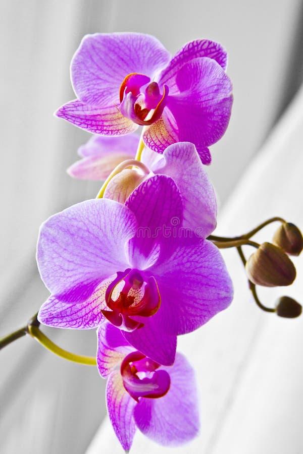 Orquídea púrpura foto de archivo