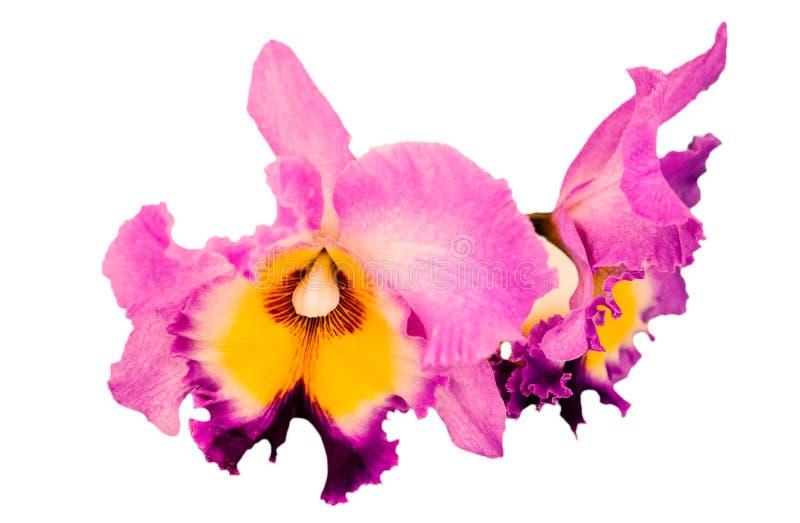 Orquídea púrpura: Aislado en el fondo blanco imagenes de archivo