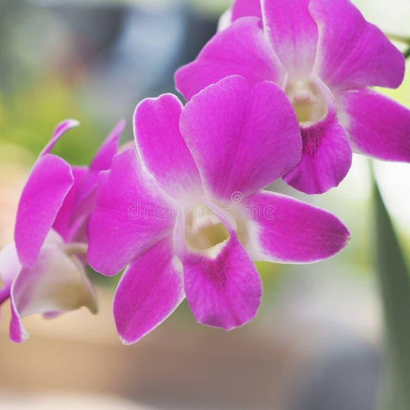 Orquídea púrpura del Dendrobium fotos de archivo