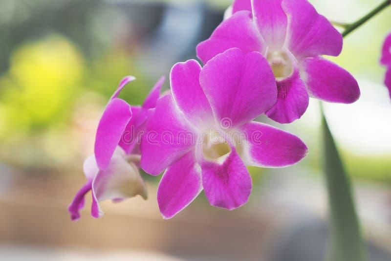 Orquídea púrpura del Dendrobium fotos de archivo libres de regalías