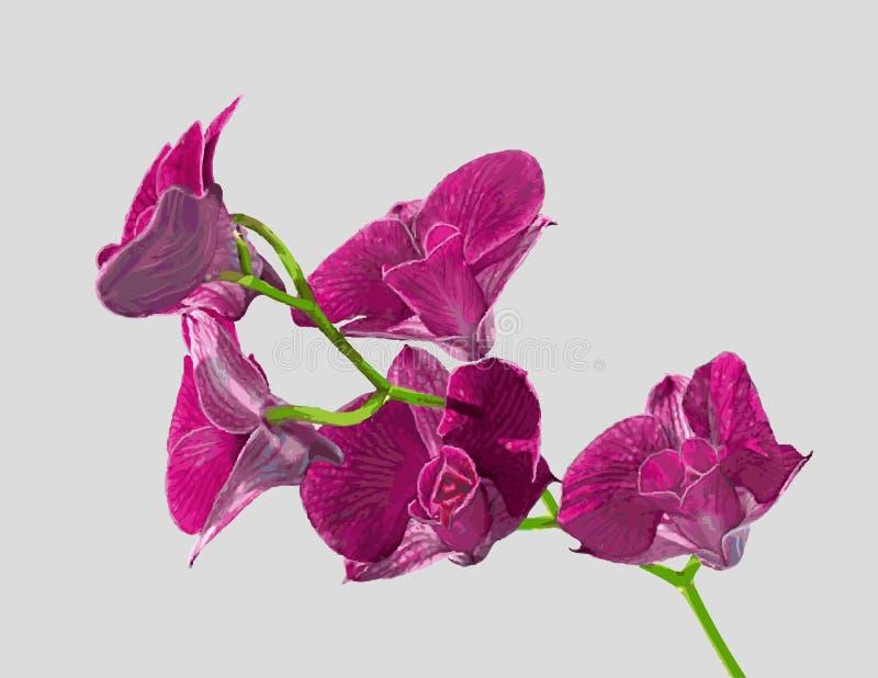 Orquídea púrpura del Dendrobium fotografía de archivo libre de regalías