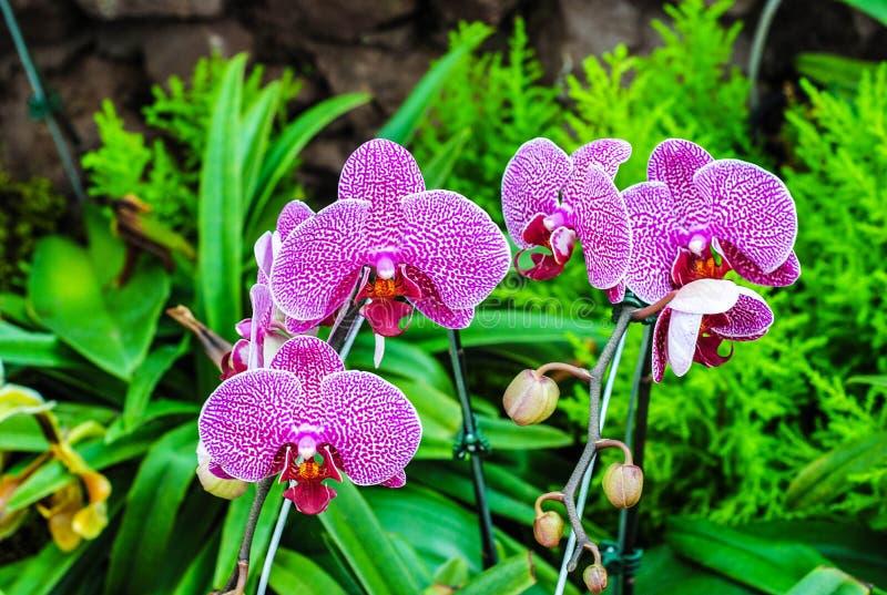Orquídea púrpura en jardín verde fotografía de archivo