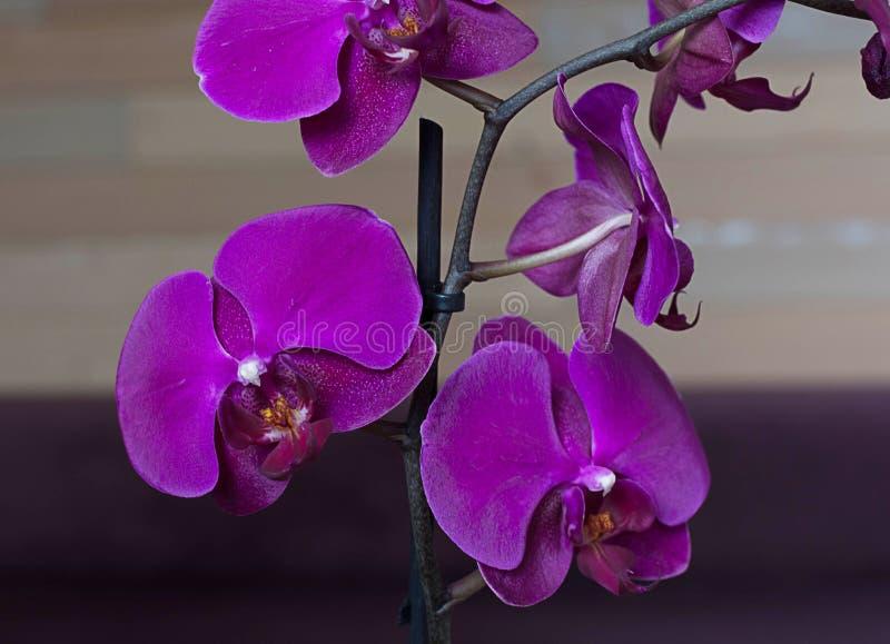 Orquídea púrpura, fondo brillante foto de archivo libre de regalías