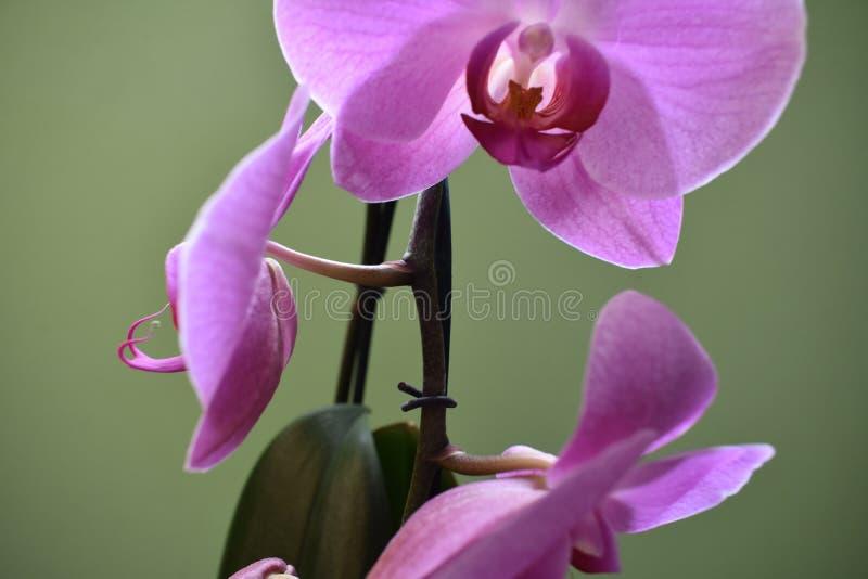 Orquídea púrpura hermosa fotos de archivo