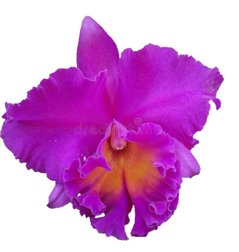 Orqu?dea p?rpura hermosa, orqu?dea p?rpura hermosa tailandesa fotografía de archivo libre de regalías