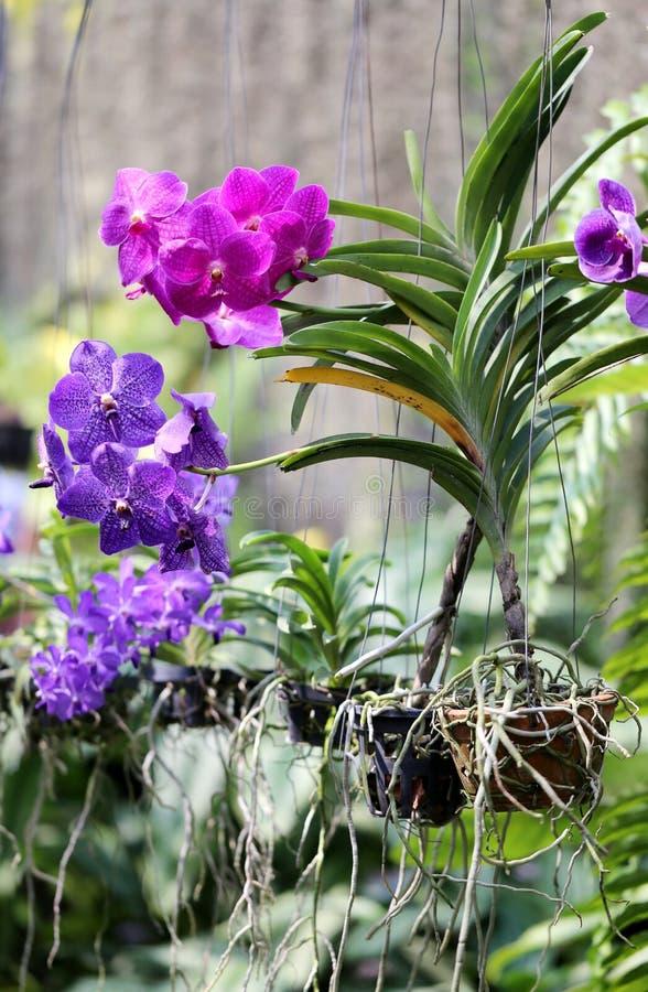 Orquídea púrpura rosada foto de archivo libre de regalías