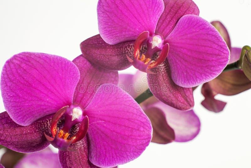 Orquídea púrpura, rosada brillante en un fondo blanco Flor macra foto de archivo