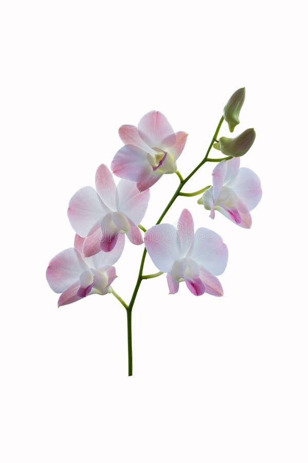 Orquídea púrpura y blanca hermosa en el fondo blanco imagenes de archivo