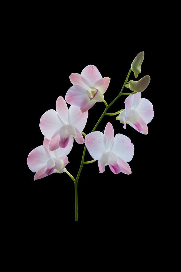 Orquídea púrpura y blanca hermosa en fondo negro imágenes de archivo libres de regalías