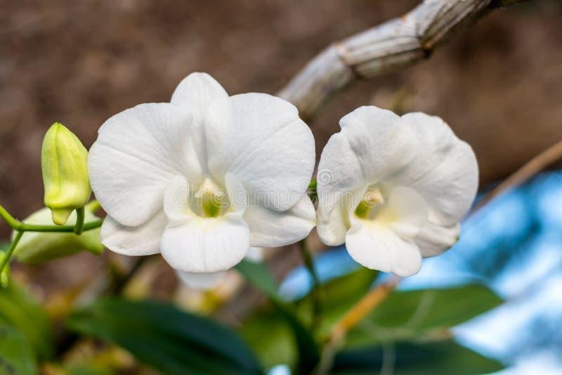 Orquídea principal de dois brancos no ramo verde fotos de stock