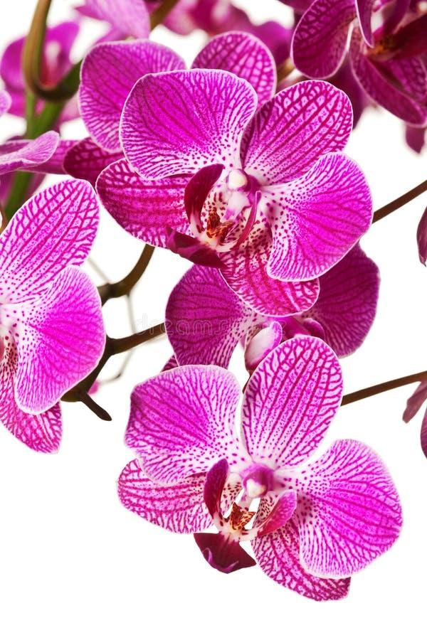 Orquídea rayada púrpura del Dendrobium imagen de archivo libre de regalías