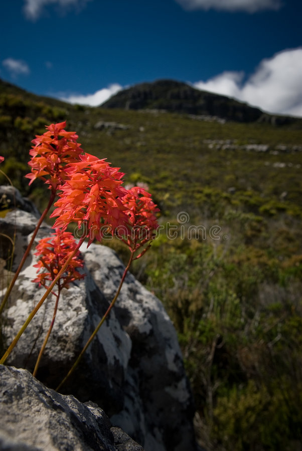 Orquídea roja imagenes de archivo