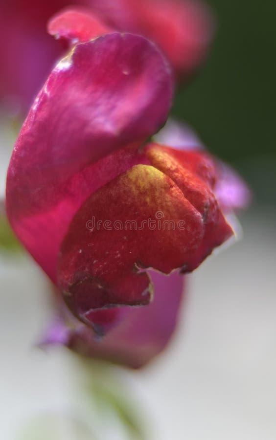 Orquídea roja brillante en un fondo blanco-verde fotografía de archivo