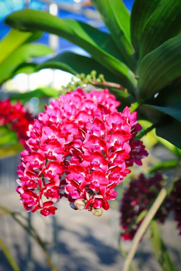 Orquídea roja de Rhynchostylis imagen de archivo