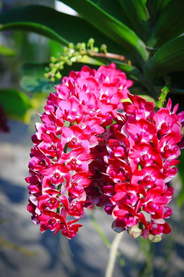 Orquídea roja de Rhynchostylis foto de archivo libre de regalías