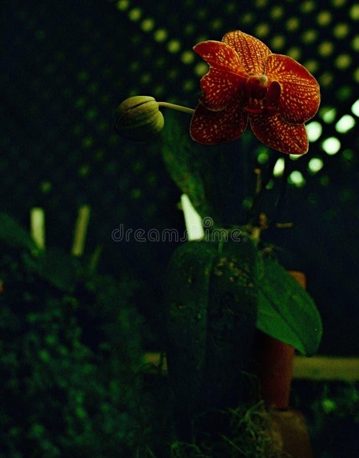 Orquídea roja en la oscuridad fotos de archivo