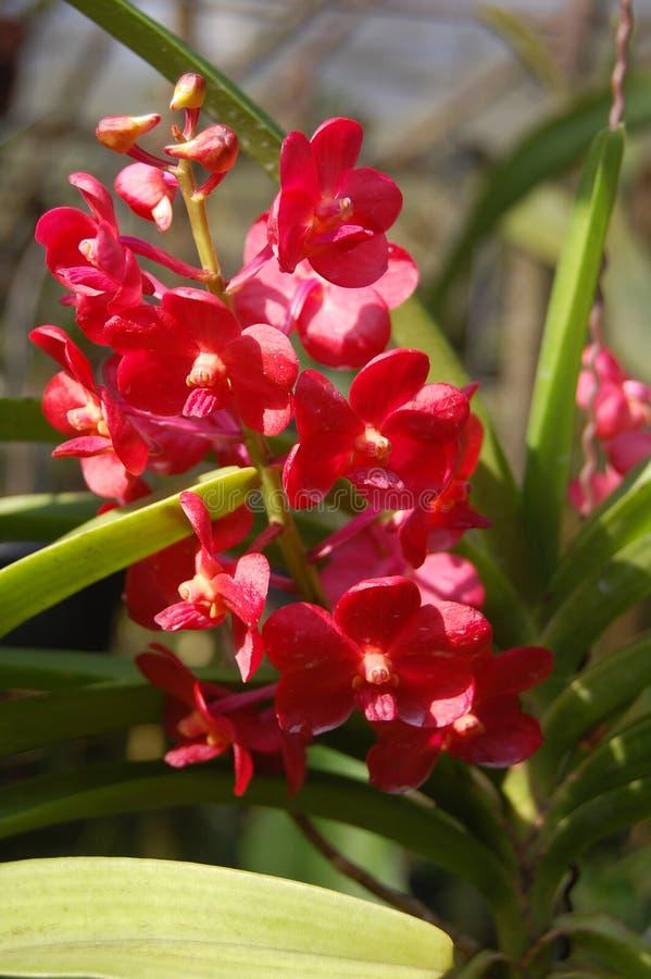 Orquídea roja Indonesia imágenes de archivo libres de regalías