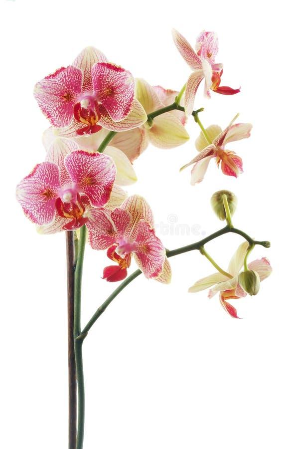 Orquídea rosada foto de archivo