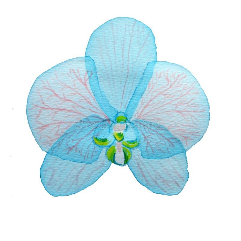 Orquídea rosada acodada transparente azul de la flor de la acuarela en el fondo blanco ilustración del vector