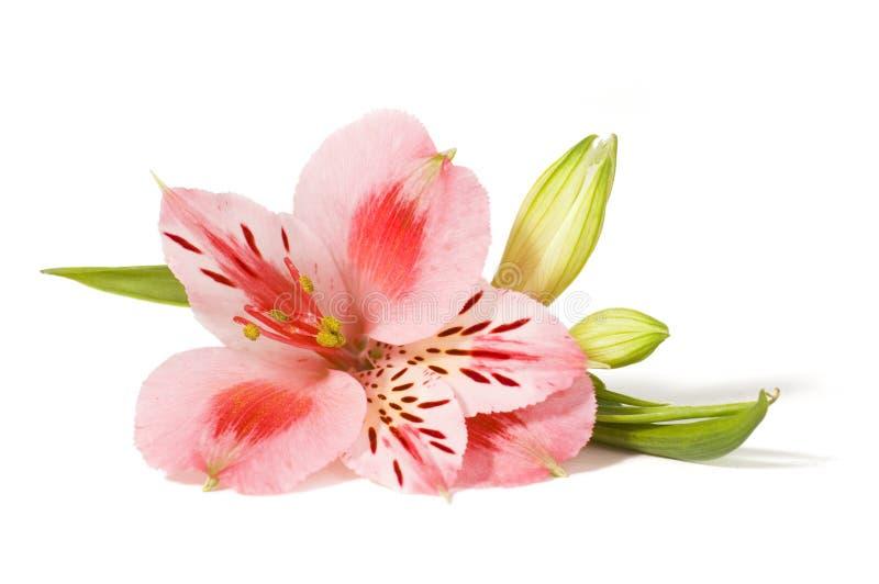 Orquídea rosada aislada en blanco imagenes de archivo