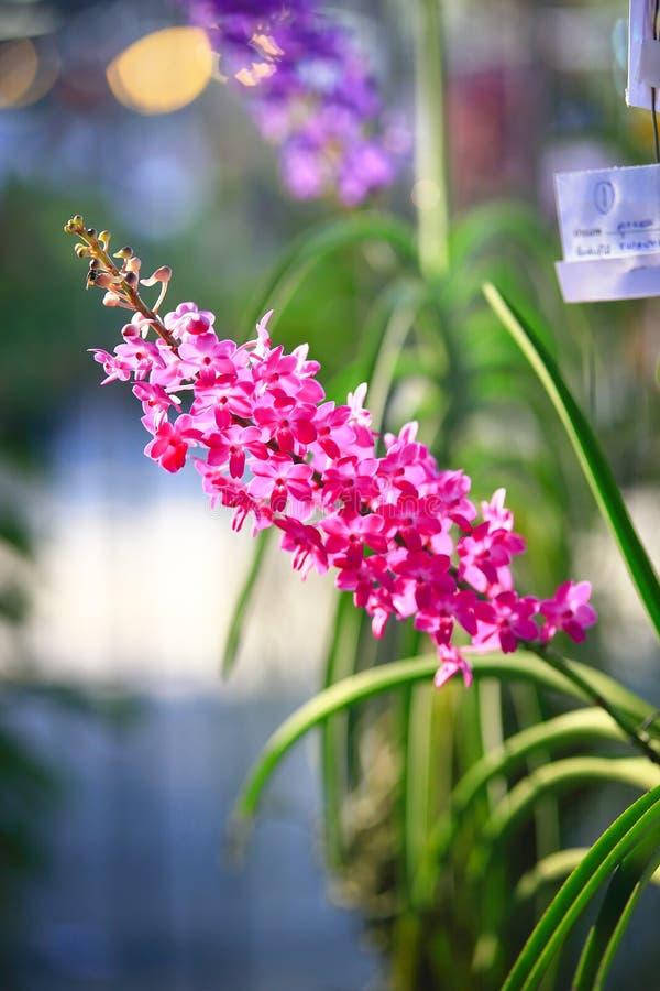 Orquídea rosada de Rhynchostylis fotos de archivo