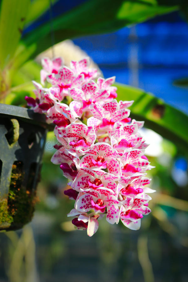 Orquídea rosada de Rhynchostylis fotos de archivo libres de regalías