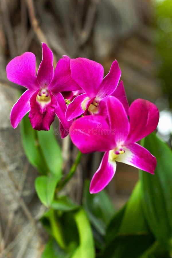 Orquídea rosada - flores rosadas. foto de archivo libre de regalías