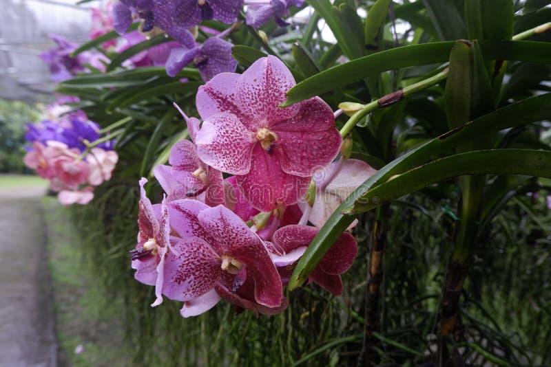 Orquídea rosada hermosa en jardín imagen de archivo libre de regalías