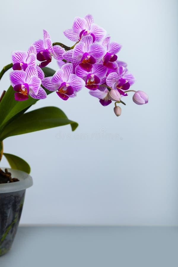 Orquídea rosada hermosa en un pote fotos de archivo