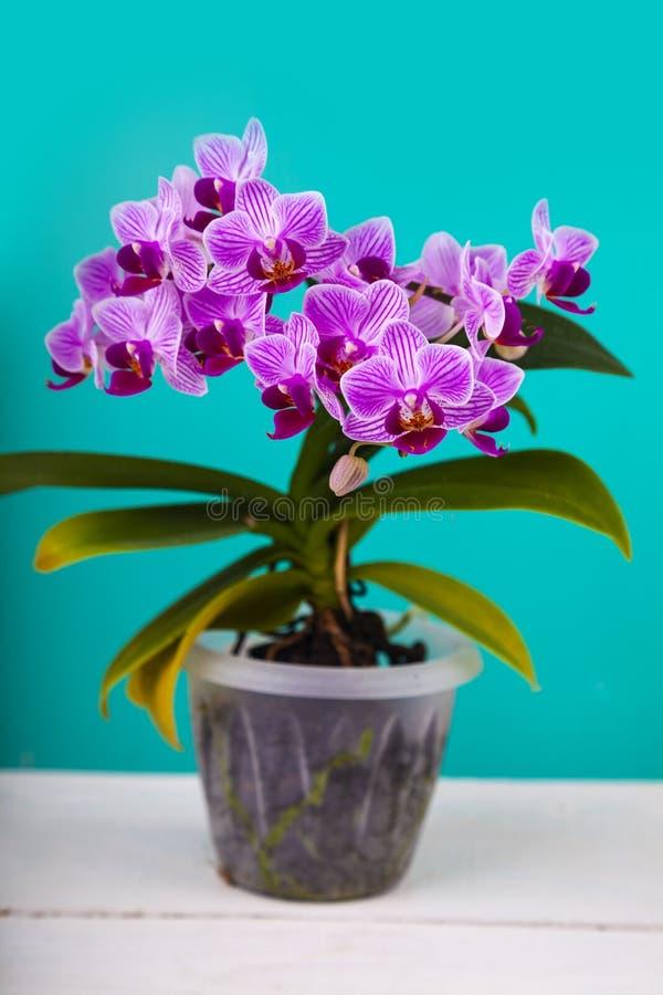 Orquídea rosada hermosa en un pote imagen de archivo libre de regalías